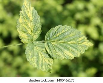 Chlorotic symptoms of Raspberry bushy dwarf virus (RBDV). Yellows disease symptoms in leaf of red raspberry (Rubus idaeus)