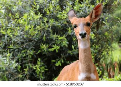 Chobe Bushbuck, Tragelaphus scriptttus ornatus, detail portrait of a female antelope in the wild.