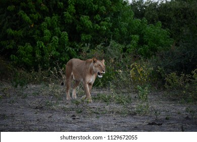 Löwin in Chobe National Park