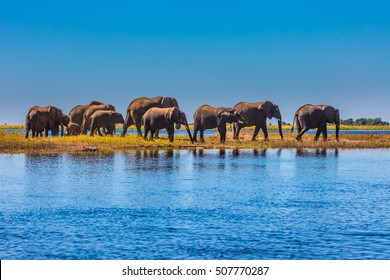 Chobe National Park is the oldest national park in Botswana. Watering in the Okavango Delta. Herd of elephants adults and cubs crossing a river in shallow water