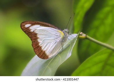 Chocolate Albatross (Appias lyncida vasava) Beautiful Butterfly in a Garden.