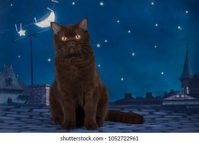 chocolate british cat sitting on the roof at night