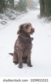 Chocolate brown labradoodle dog in the snow, Medstead, Alton, Hampshire, United Kingdom.