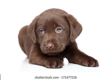 Chocolate Brown Labrador puppy portrait on white background