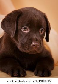Chocolate brown Labrador retriever puppy dog on tan background studio photo