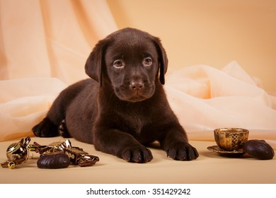 Chocolate brown Labrador retriever puppy dog with tea cup ans sweets on tan background studio photo
