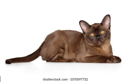 Chocolate Burmese cat lying down on white background. Animal themes