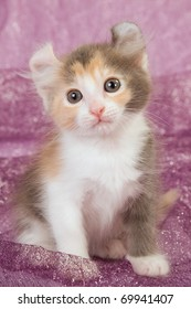 Chocolate calico American Curl kitten on purple shimmering background