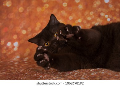 chocolate cat on a brown background