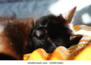 Chocolate cat sleeping on the sofa. A Cat relaxed and stretched his paw close. A chocolate colored cat sleeps on a yellow blanket. The sun warms the cat and sunspots are reflected on the sofa.