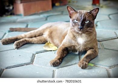 Chocolate cat,Thailand cat, blue eyes.