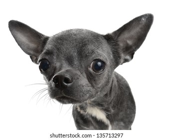 Chocolate Chihuahua puppy portrait  isolated on white
