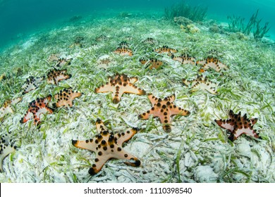 Chocolate chip starfish cover the seafloor of a seagrass meadow in Wakatobi National Park, south of Sulawesi in Indonesia. This beautiful region harbors amazing reefs and a wide array of marine life.