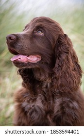 Chocolate cocker spaniel puppy on the beach with rushes in the background.