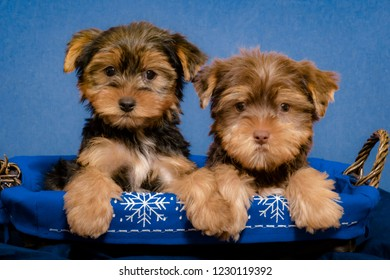Chocolate Colored Yorkshire Terrier Puppy and a Black and Tan Yorkshire Terrier Puppy Sit in a Blue and White Snowflake Basket Holding Each Other's Paws for the Winter Holidays