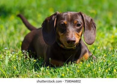 Chocolate Dachshund Weiner Dog Puppy