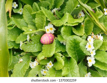 Chocolate egg wrapped in colored paper hidden in a primrose plant for Easter
