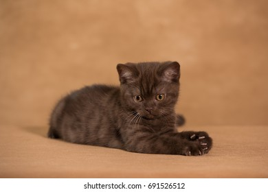 Chocolate kitten curious in studio, bright brown background