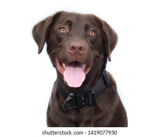 Chocolate lab dog on white backdrop