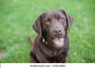 Chocolate lab dog smiles in the grass