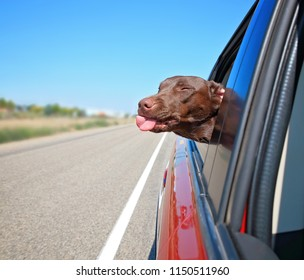 chocolate lab hanging her head out the window of a car with her tongue out