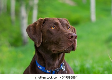 Chocolate lab head shot on green grass background.