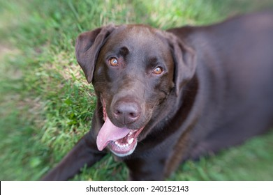 A Chocolate Lab laying in the grass smiling at the camera. The edges are blurred as the face is accentuated.