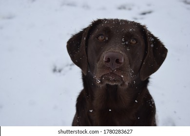 chocolate lab mix dogs in snow and forest