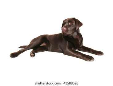 a chocolate lab on a white background