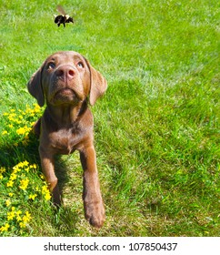 Chocolate lab puppy looking excitedly at a passing bumble bee in the summer, wide angle.
