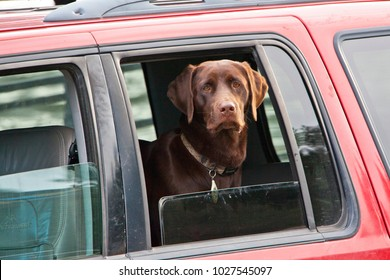 Chocolate lab waiting in car
