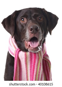 Chocolate lab wearing a scarf.