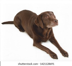 Chocolate Labrador Bitch Studio Pic