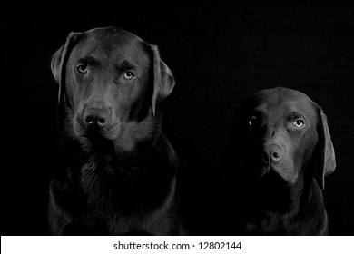 Chocolate Labrador Brothers in Black & White against a Black Background