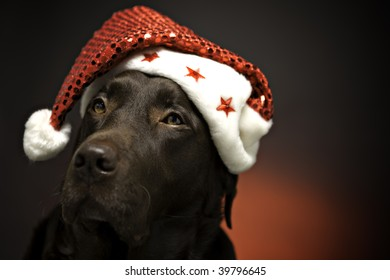 chocolate labrador at christmas wearing a santa hat