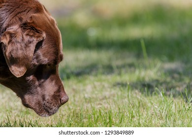 Chocolate Labrador in close up sniffing grass with interest