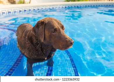 Chocolate Labrador cooling down in Swimming Pool