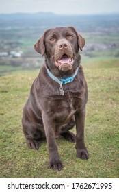Chocolate Labrador dog action shots