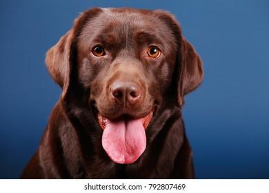 chocolate labrador dog in studio