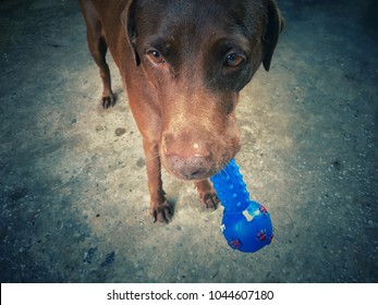Chocolate Labrador holds a blue Ball playing . color vintage style focus with eyes blur background