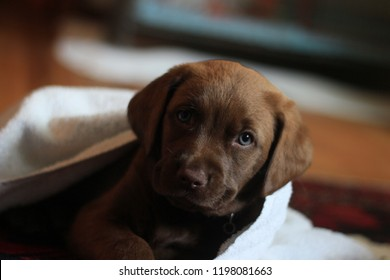 Chocolate Labrador indoor portrait.