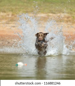 A Chocolate Labrador jumps into a lake as he trains to retrieve decoys