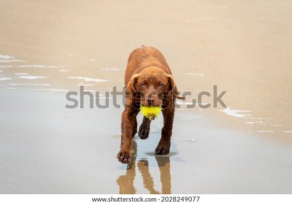 A Chocolate Labrador (Lab) puppy fetches a tennis ball at the dog friendly Carmel Beach at Carmel by the Sea in California.