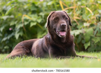 Chocolate labrador lying down. Brown dog on grass in front of flowers