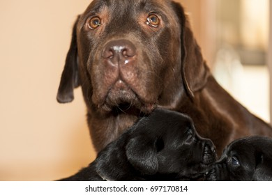 Chocolate labrador mother is guarding their puppies