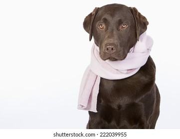 Chocolate Labrador in Pink Scarf