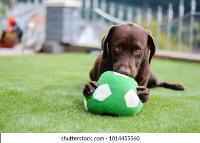 chocolate labrador playing with toy ball,green ball, chocolate, bold eyes