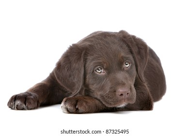chocolate Labrador puppy in front of a white background