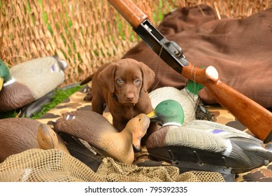 Chocolate Labrador puppy in a hunting blind standing by mallard decoys