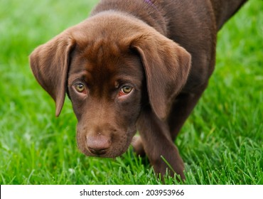Chocolate labrador puppy looking into camera on grass background